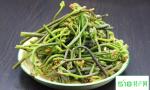蕨菜真的不能吃吗?都说是致癌物质