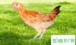 每天吃鸡肉高血压风险降四成