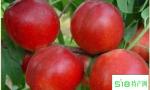 12-33油桃