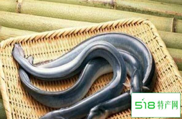 鳗鱼的功效与作用及禁忌