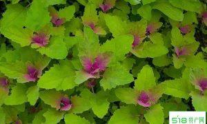 有毒灰菜与灰菜的区别:紫色有毒!