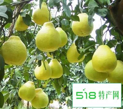 容县沙田柚