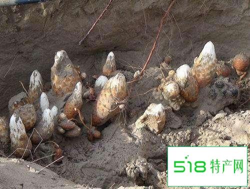 石河子肉苁蓉