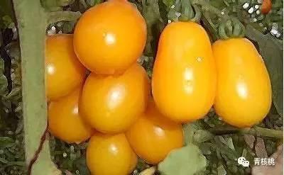 五原黄柿子