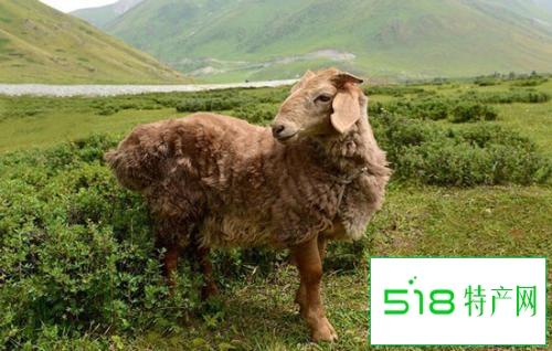 广灵大尾羊羊肉