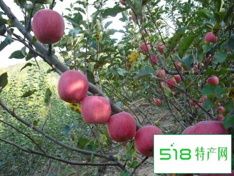 新杖子乡苹果
