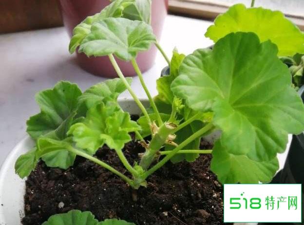天竺葵叶子越养越小怎么回事
