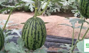 世界上最大的西瓜有多大,产地在哪里