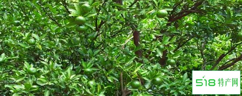 芦柑是什么,和橘子有什么区别