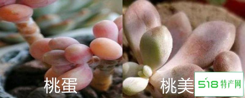 桃蛋和桃美人的区别,怎么养能出状态