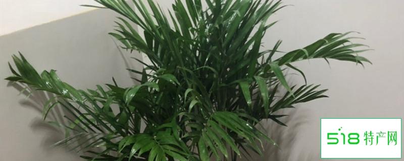 袖珍椰子怎么养,多久浇一次水