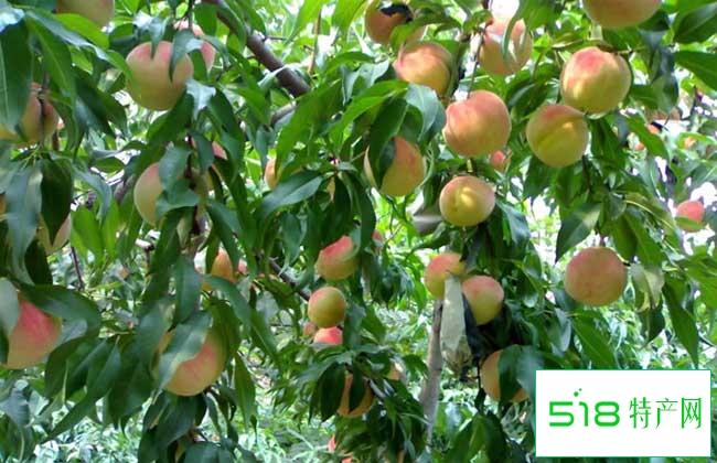 吃桃子减肥吗