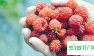 登仕堡子镇树莓