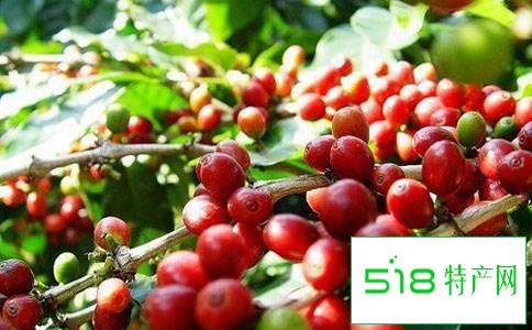 铁皮卡咖啡豆
