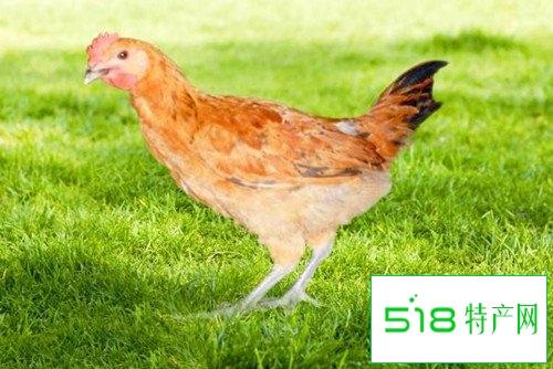 少儿吃田七炖童子鸡能长个儿吗