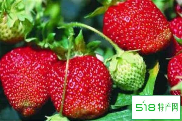 草莓种子直接种可以吗