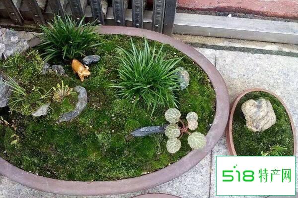 有苔藓的盆景如何浇水 注意事项有哪些
