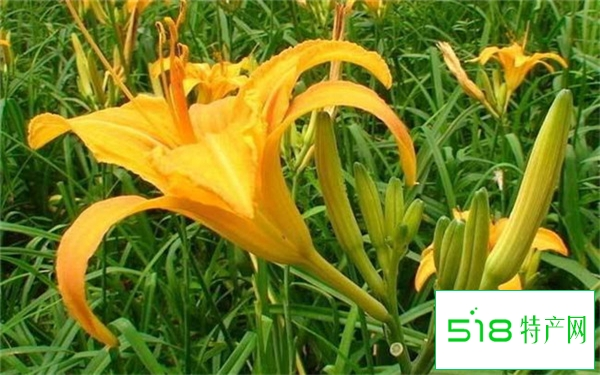 宿根多年生草本植物有哪些
