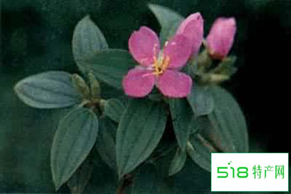 桃金娘的繁殖方法是什么呢?