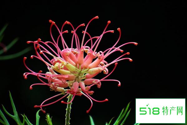 红花银桦如何进行养殖呢?