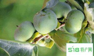 青柿子怎么做成脆柿子