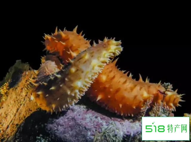 奇妙的海参世界丨这些种类的海参你都认识吗?